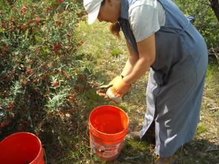 Sue Picking Agarita Berries