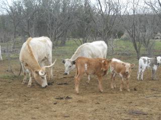 New Pure Longhorn Calf Amadis