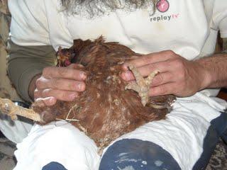 Chicken Peritonitis Fluid Draining Procedure
