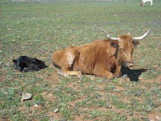 New Longhorn Bull Calf Cuervo