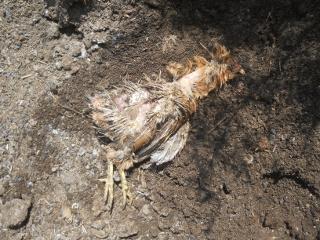 Dead Chicken