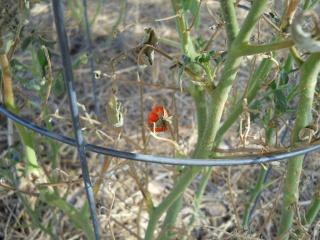 Drought 2011 Tomato