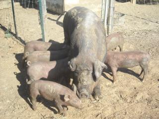 Duroc Pig Missy with Piglets