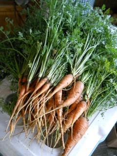 Spring Garden 2012 Carrots