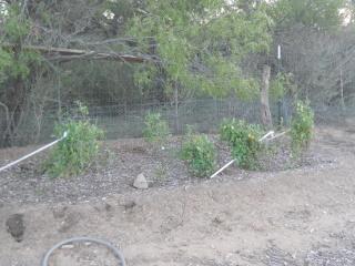 Mid November 2014 Garden Tomatoes