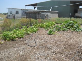 Bean, Butternut Squash, Zucchini Plants