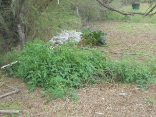 Volunteer Tomato Plant & Zucchini