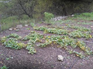 Sweet Potato Plants