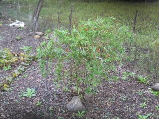 Gogi Berry Plant