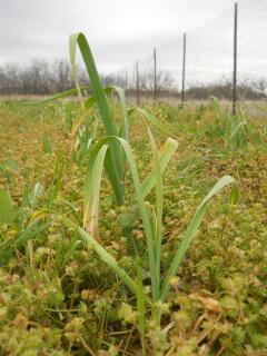 2019 Garlic Plant