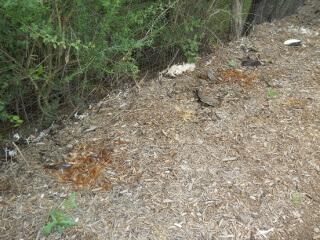 Compost Pile Chicken Parts