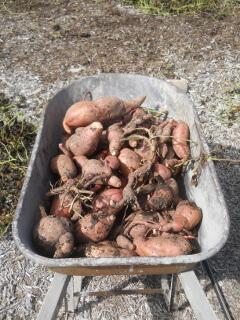 More Harvesting Sweet Potatoes