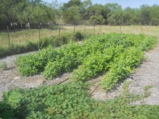 Black Eyed Peas Plants