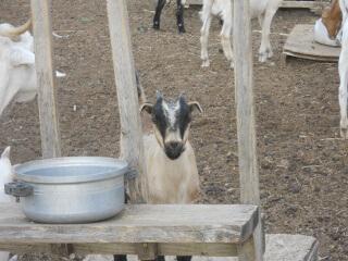 2018 Goat Kids