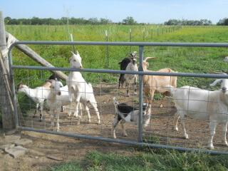 2019 Goat Kids