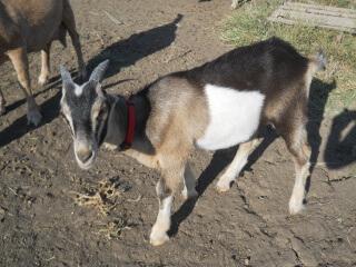 Last 2019 Goat Kid