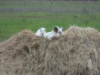 Goat Kids on Hay Bale