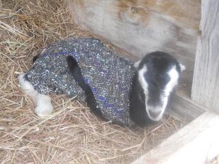 More 2021 Goat Kids