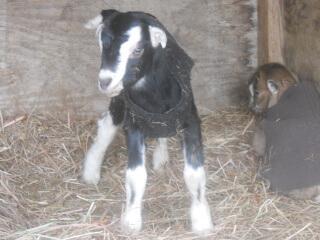 Still More 2021 Goat Kids