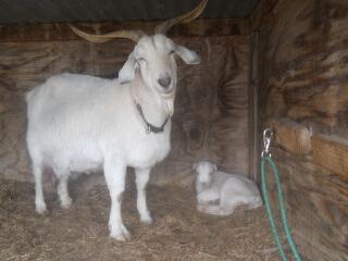 Again More 2021 Goat Kids