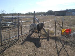Goat Buck Elvis