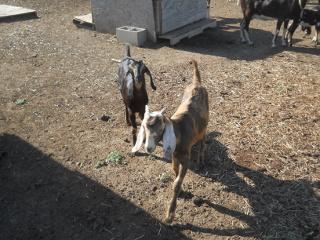 Orphan Goat Kids Pearl & Tiger
