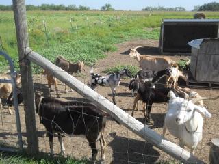 Goats Rounding Up