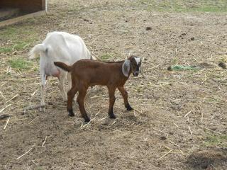 New 2012 Goat Buck Lester