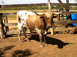 Pure Longhorn Bull Manolete