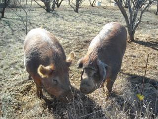 Duroc Boar Wilbur and Gilt Missy