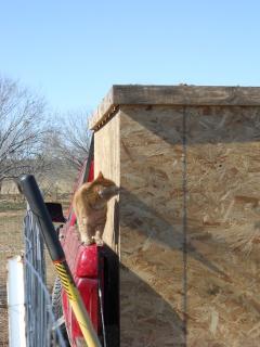 William the Cat Supervising the Mulching Process