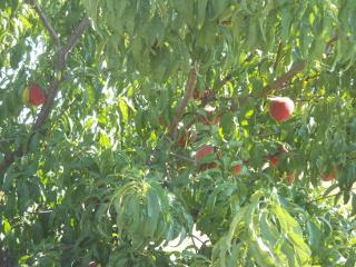 Nectarines 2014