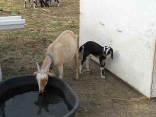 New 2012 Goat Buck Melvin