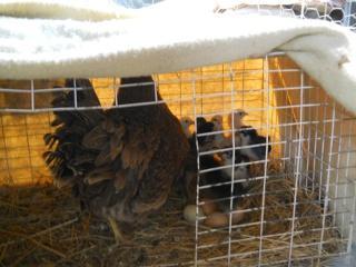 New Chicks 2012 Third Hatching