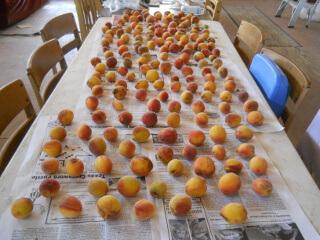 Nectarines Ripening