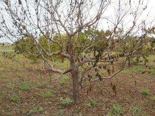 Dead Peach Tree