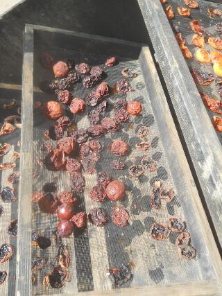 Still More 2021 Fruit on Solar Food Dehydrator