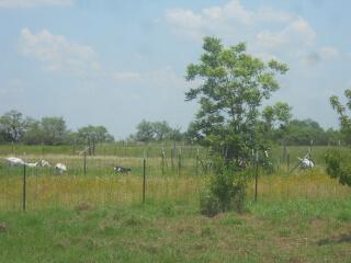 Pecan Tree 2021