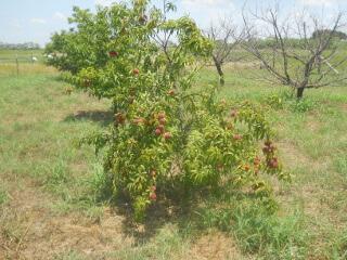 Peach Tree 2021