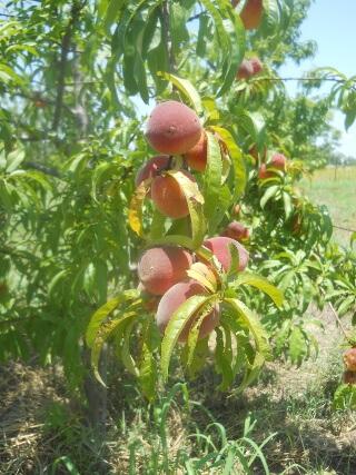 Peaches on Tree 2021