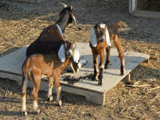 Three Week Old Full Nubian Bucks Stanley and Ollie