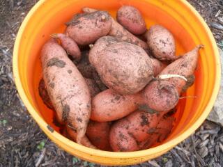 Bucket of Sweet Potatoes