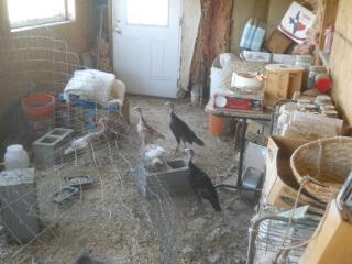 First 2021 Turkey Chicks